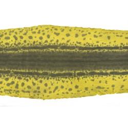 Wąż Karung żółty